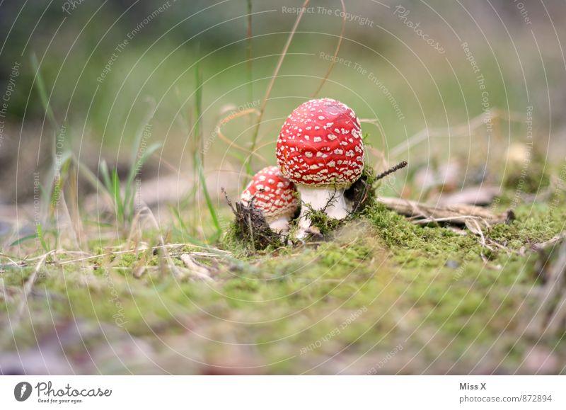 Fliegenpilz Natur Erde Herbst Moos Wald rot gefährlich Pilz Waldboden Gift Farbfoto mehrfarbig Außenaufnahme Nahaufnahme Menschenleer Textfreiraum links
