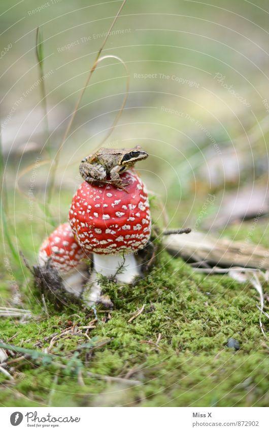 Froschkönig Natur Tier Erde Herbst Moos Wiese Wald 1 klein schleimig Pilz Fliegenpilz Waldboden Märchenwald Herbstwald Farbfoto mehrfarbig Außenaufnahme