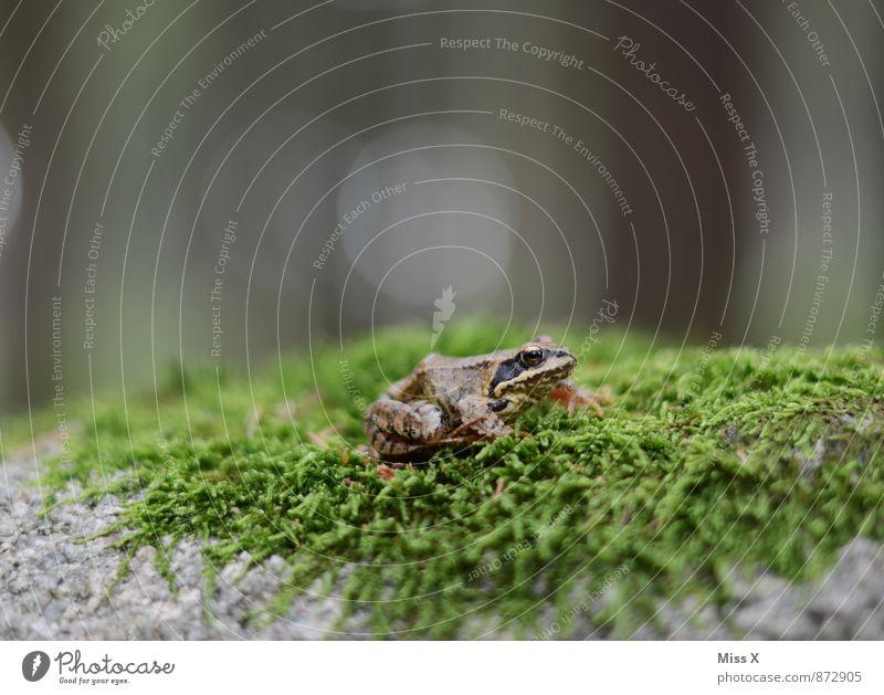 Frosch Natur grün Tier Wald Moos Frosch Waldboden Laubfrosch Moosteppich