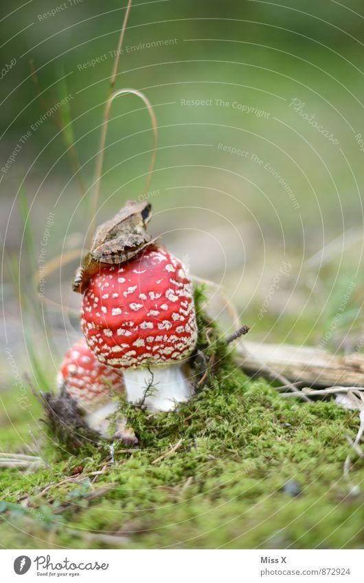 Froschkönig Tier Sommer Herbst Wald Moor Sumpf Teich Wildtier 1 schleimig rot Fliegenpilz Gift Moos Pilz Waldboden sitzen Farbfoto mehrfarbig Außenaufnahme