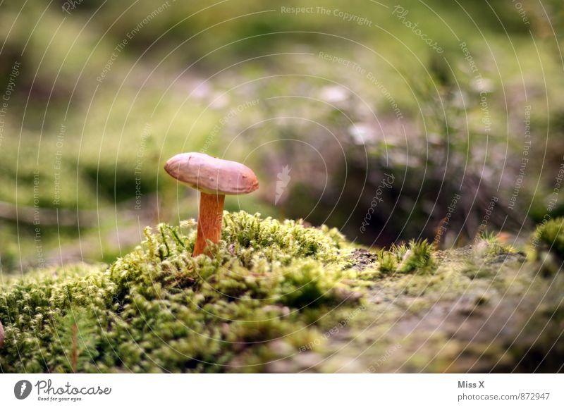 Waldstein Lebensmittel Ernährung Natur Erde Herbst Moos Wachstum Pilz Waldboden Pilzhut Herbstbeginn Herbstwald Farbfoto Außenaufnahme Nahaufnahme Menschenleer