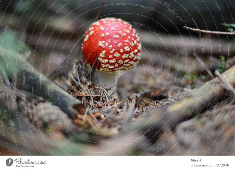 Fliegenpilz Umwelt Natur Pflanze Erde Herbst Moos Wald Wachstum gefährlich Gift vergiften Pilz Pilzhut Tannennadel Waldboden Ast sprießen Farbfoto Außenaufnahme