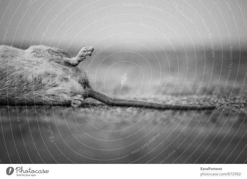 Fang Häusliches Leben Wohnung Umwelt Natur Tier Wildtier Totes Tier Maus 1 schwarz weiß Tod Schwanz Beine Tierfuß Fell gefangen Teppich Anschnitt Landleben
