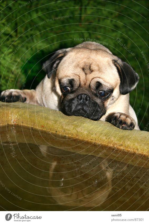 Tagtraum Hund Mops Brunnen Spiegelbild Tier Schrecken Neugier Quelle Entsetzen Springbrunnen erschrecken Falte Interesse Sauhund Aufgeschlossenheit