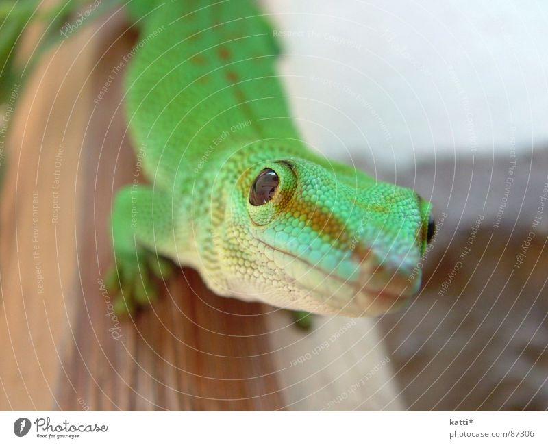 Taggecko schön grün Freude ästhetisch Afrika beobachten Symmetrie Reptil Echsen faszinierend geschmackvoll interessant Tier Terrarium Gecko bissig