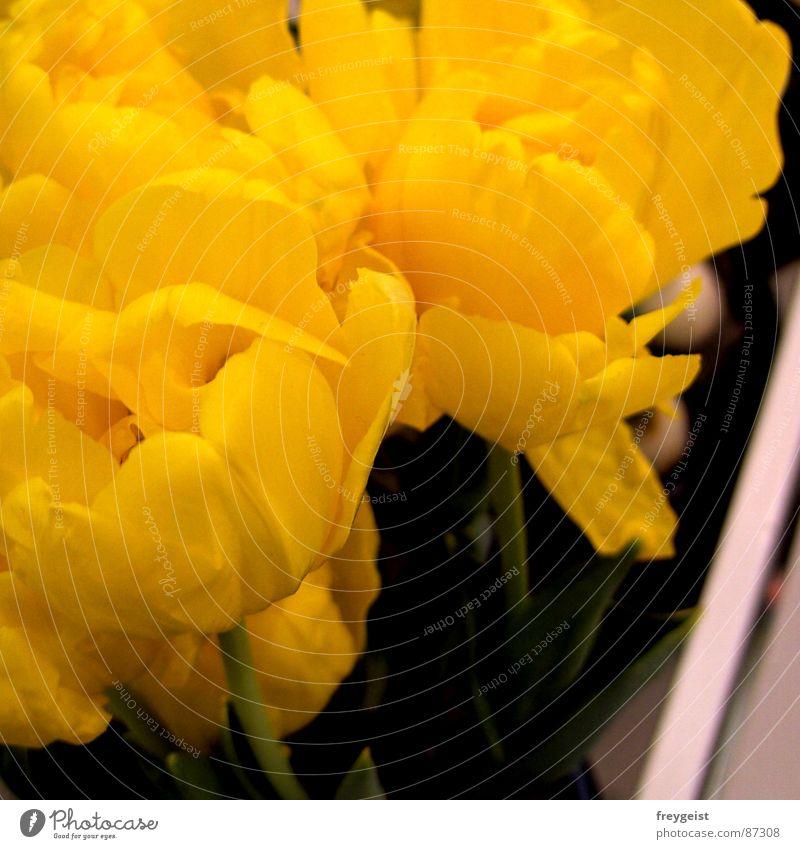 Gelb Blume grün gelb springen Blüte Frühling Blühend Quadrat Jahreszeiten Tulpe Blumentopf Frühlingsblume Blumenkasten Knollengewächse