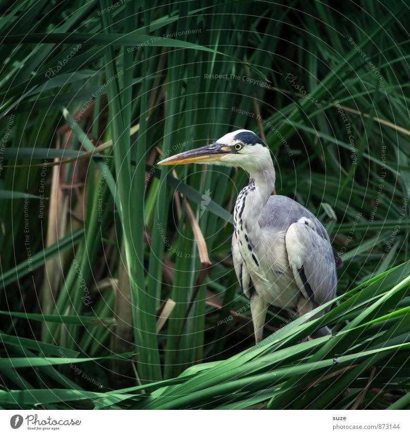 Herr Strese wird gesucht ... Umwelt Natur Tier Seeufer Wildtier Vogel 1 stehen warten ästhetisch authentisch fantastisch natürlich wild grün geheimnisvoll