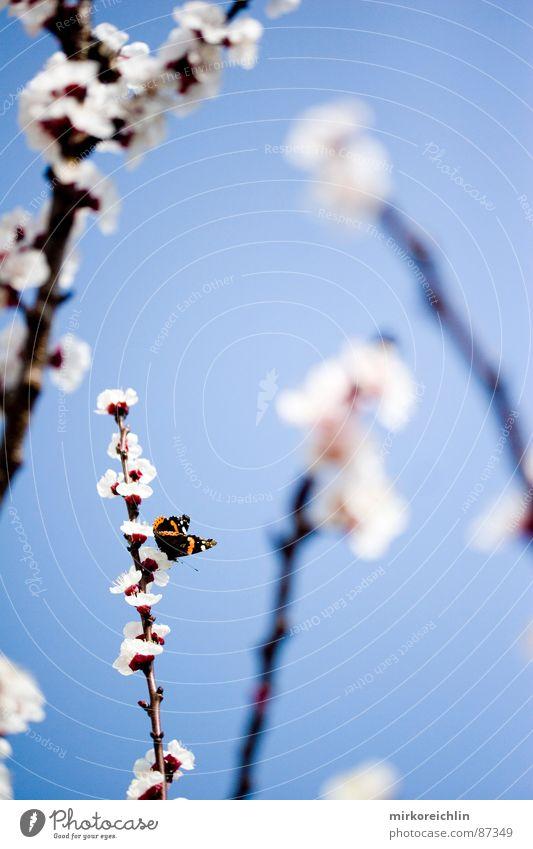 Frühlingsgefühle Aprikose Aprikosenbaum Blume Blüte Schmetterling Jahreszeiten schön harmonisch Saison attraktiv himmlisch Ast Glück Schönes Wetter