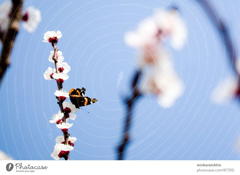 Frühlingsgefühle II Aprikose Aprikosenbaum Blume Blüte Schmetterling Jahreszeiten schön harmonisch Saison attraktiv himmlisch Leichtigkeit Ast Glück