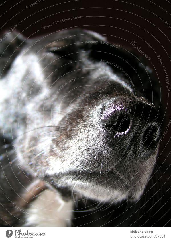 Einen Moment lang... Hundeschnauze Pause ruhig ernst außergewöhnlich Tierheim vertraut Freundlichkeit Blick Fell geschlossen schwarz Lebewesen weich Nahaufnahme