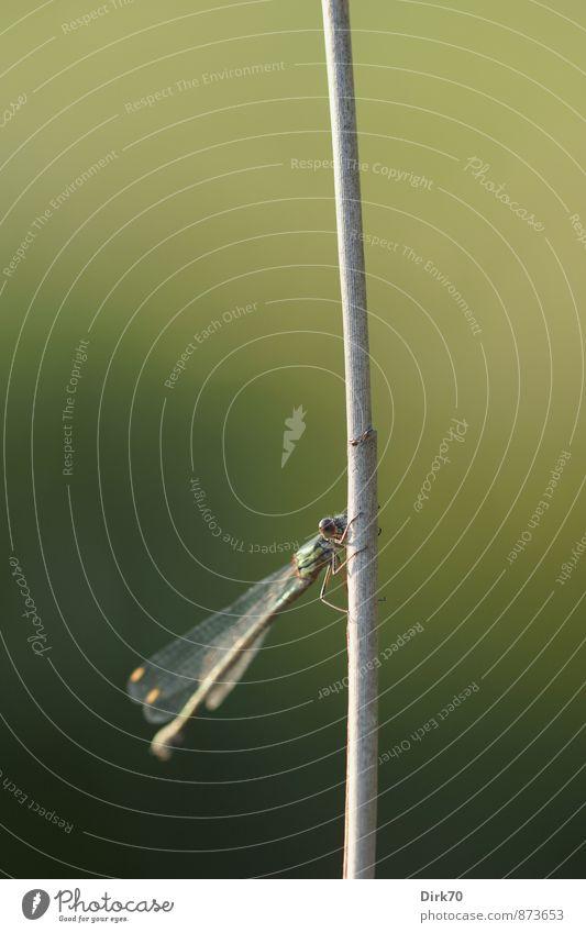Ein Halm im Wind als einzig fester Halt Natur Schönes Wetter Pflanze Schilfrohr Röhricht Stengel Feld Flussufer Tier Wildtier Insekt Libelle Klein Libelle 1
