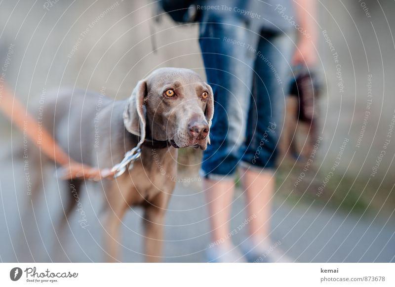 Augenhöhe Freizeit & Hobby Ausflug Beine 1 Mensch Tier Haustier Hund Tiergesicht Fell Weimaraner Tia Hundeleine Blick stehen warten schön Wachsamkeit ruhig