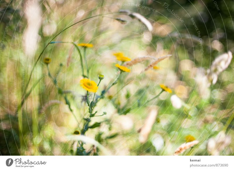 Wild und schön Umwelt Natur Pflanze Sonnenlicht Sommer Schönes Wetter Wärme Blume Gras Blüte Wildpflanze Wiese Blühend Wachstum Duft Fröhlichkeit frisch gelb