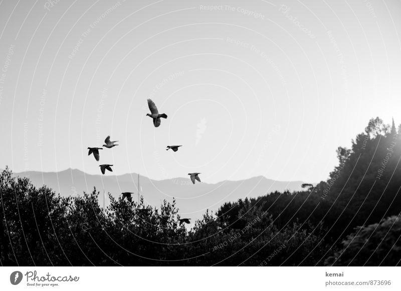 Eines schönen Morgens Pflanze Sträucher Hügel Tier Wildtier Vogel Taube Schwarm fliegen Vogelschwarm Schwarzweißfoto Außenaufnahme Menschenleer