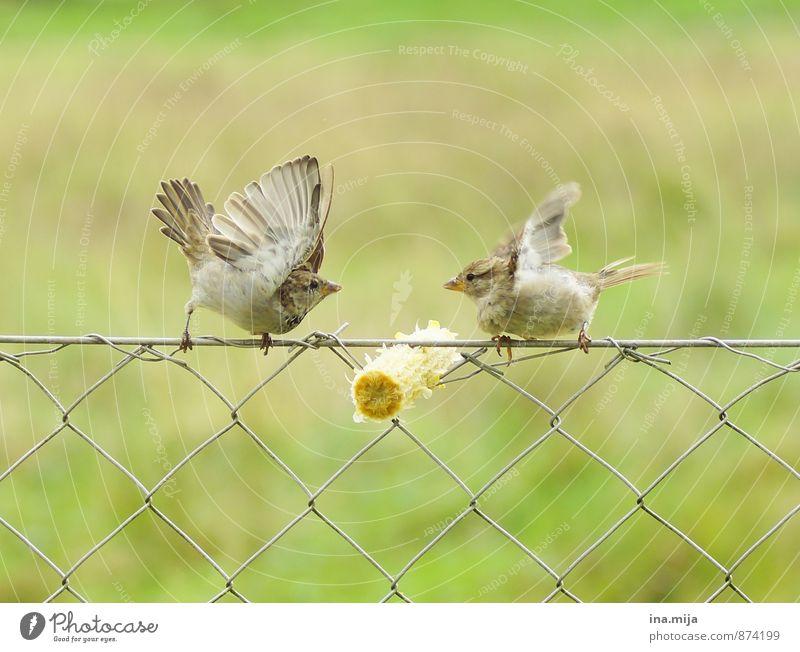 MEIN MAISKOLBEN! Tier Wildtier Vogel 2 Tierpaar Essen kämpfen Aggression bedrohlich frech niedlich rebellisch wild braun grün Neid Gier Völlerei gefräßig Kraft