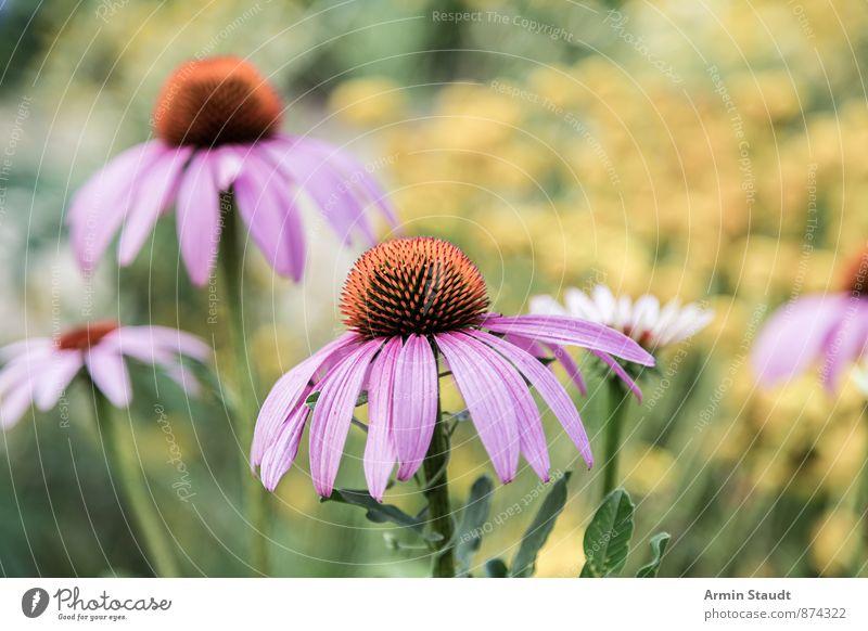 Lila Blumen Natur Pflanze schön Farbe Sommer ruhig gelb Wiese Blüte Frühling natürlich Gesundheit Garten Stimmung rosa