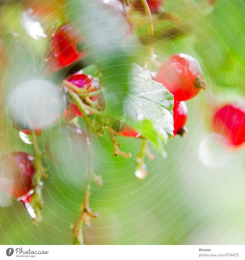 Spätlese Natur Pflanze grün Farbe Sommer rot Blatt natürlich Gesundheit Garten hell glänzend Frucht Sträucher frisch Wassertropfen