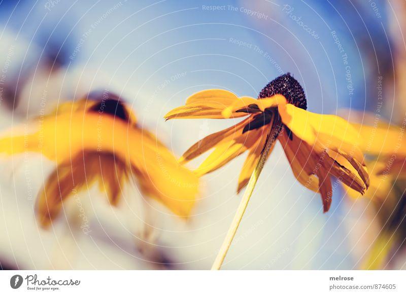 Sonnenhut Natur Pflanze Himmel Wolkenloser Himmel Sonnenlicht Sommer Schönes Wetter Blume Blüte Blütenpflanze Stauden Staudenpflanze Lebewesen Garten Park atmen