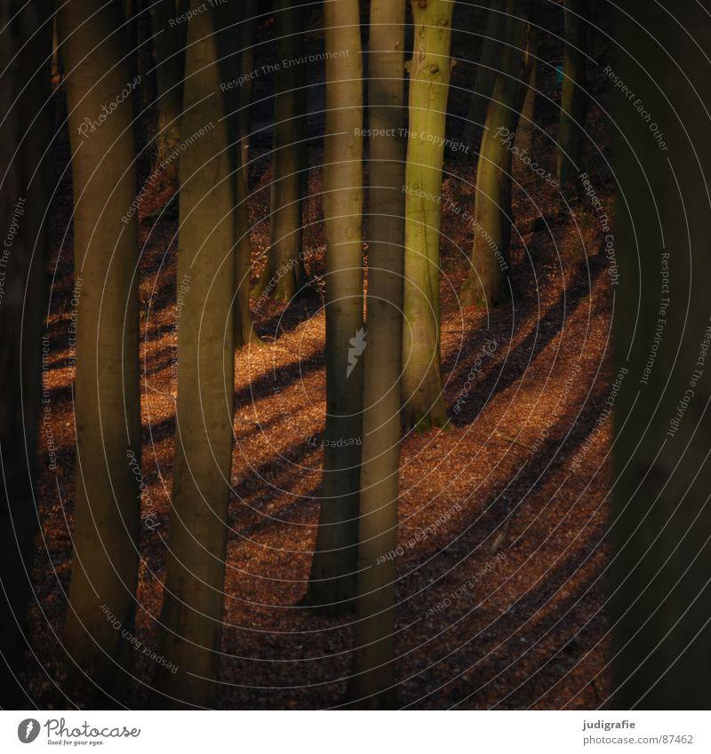 Märchenwald bedrohlich Wald Licht braun Buche grauenvoll gruselig unheimlich schön Laubwald Blatt Waldboden Umwelt Wildnis geisterhaft ruhig mystisch Frieden