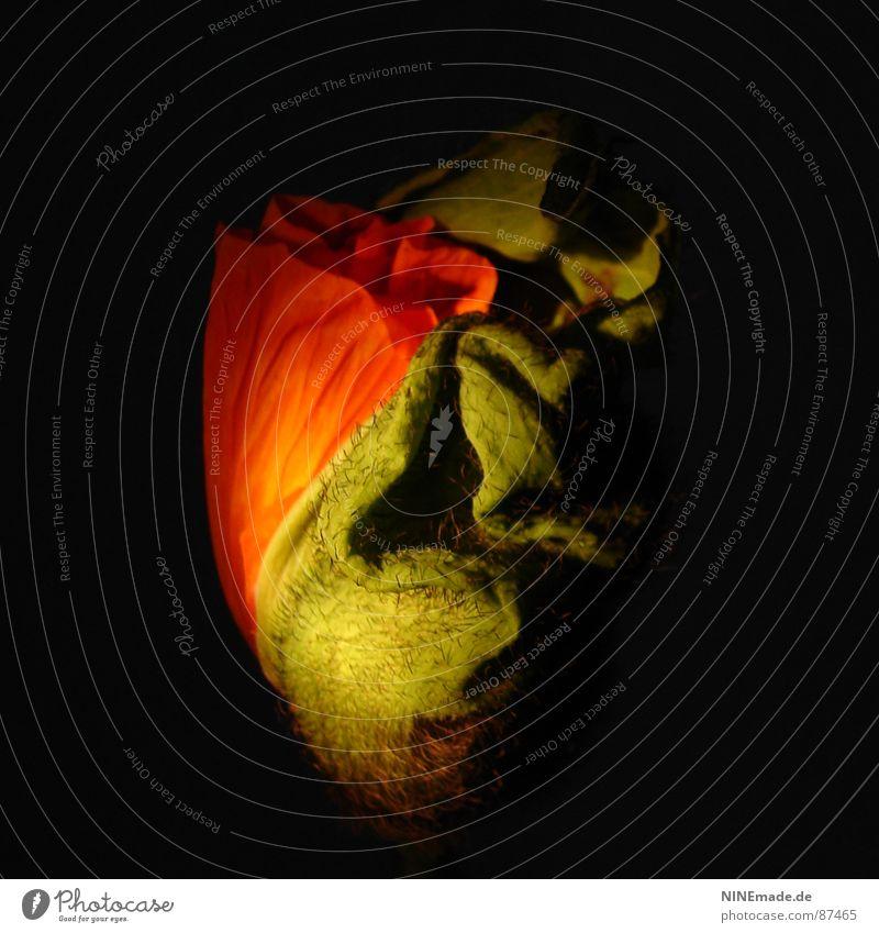 poppy III grün rot schwarz gelb Leben Blüte Frühling Wellen elegant Ordnung zart Wissenschaften Mitte Blühend Quadrat