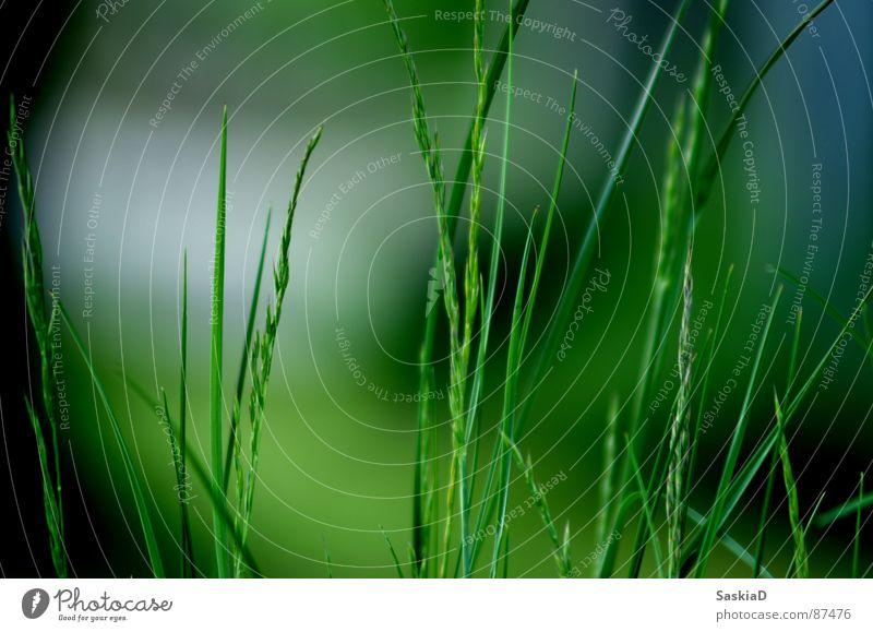 der duft der natur grün Sommer grass Natur Garten grasshalm Bodenbelag Duft Makroaufnahme