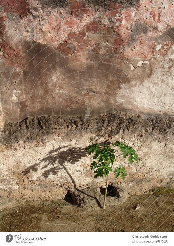 Die Pflanze und die Mauer Setzling Sämlinge Muster Einsamkeit abgelegen Wildpflanze Naturphänomene Botanik verloren junger baum Stadtmauer neugeboren