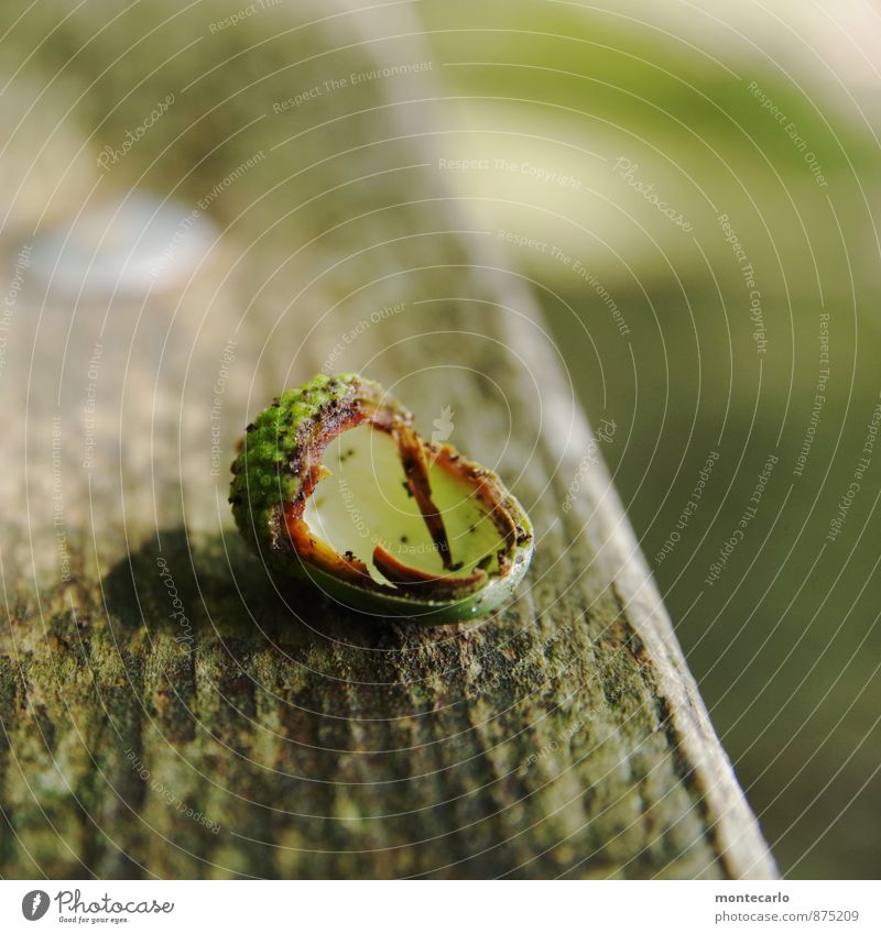 waldfrucht Umwelt Natur Herbst Pflanze Grünpflanze Wildpflanze Eicheln Holz authentisch einfach kaputt klein nah natürlich Originalität rund trocken wild grau