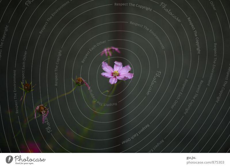 blumiges Bokeh II Umwelt Natur Pflanze Blume Blüte Grünpflanze Veilchengewächse Garten Park Mauer Wand Blühend verblüht dehydrieren Wachstum trist grau grün