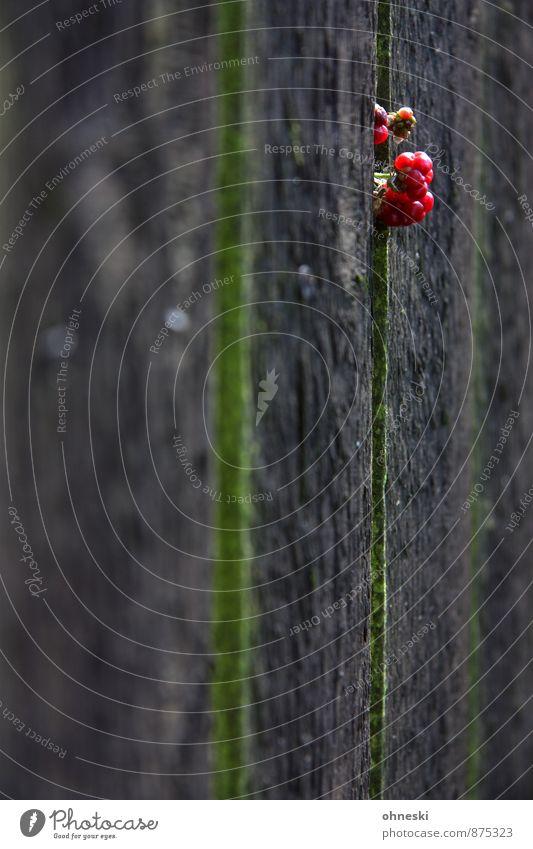 Brombeeren II Pflanze rot Garten Wachstum Zaun Beeren Wildpflanze Zaunlücke