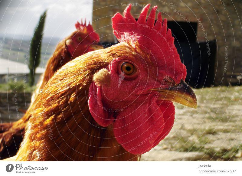 Chef im Ring Haushuhn Hahn Vogel Toskana gelb Eigelb Vorgesetzter rot Hahnenkamm Stall Hühnerstall Natur Hahn im Korb Freilaufendes Huhn Glückliches Huhn jomam