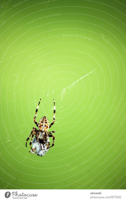 Nahrungskette Tier Spinne Kreuzspinne Beute 1 Spinnennetz Fressen natürlich grün Farbfoto mehrfarbig Außenaufnahme Textfreiraum rechts Textfreiraum oben