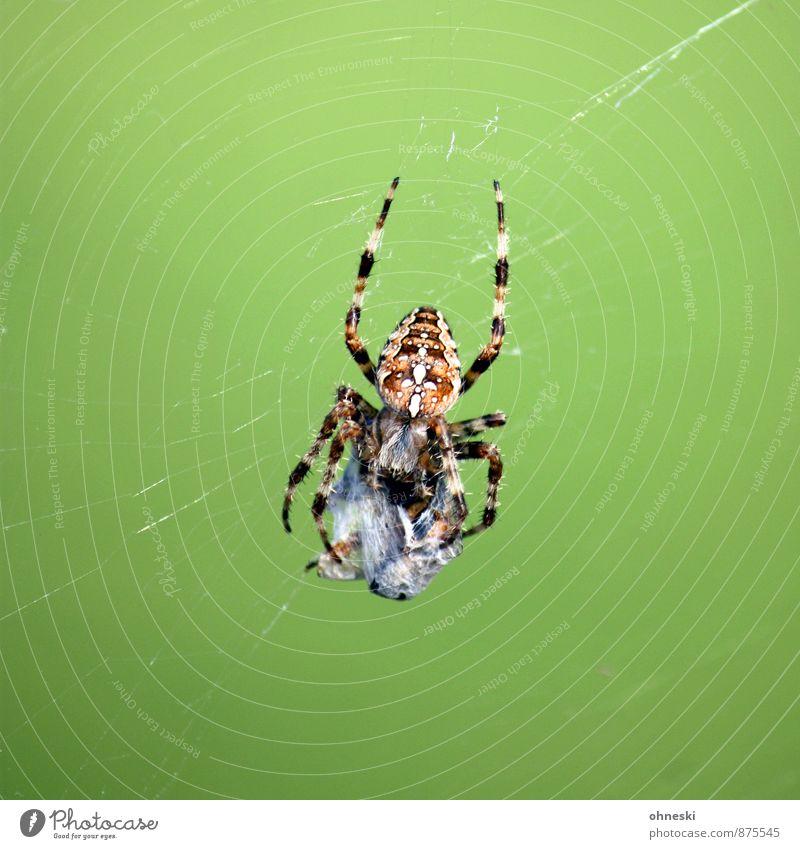 Frühstück grün Tier Wildtier bedrohlich gruselig Jagd Fressen krabbeln Spinne Spinnennetz Überleben Beute Kreuzspinne