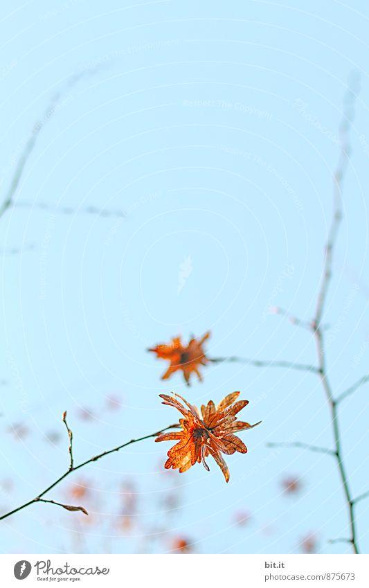 Herbststern Himmel Natur Pflanze blau Blatt Garten Park Zufriedenheit Dekoration & Verzierung Lebensfreude Vergänglichkeit Stern (Symbol) Wandel & Veränderung