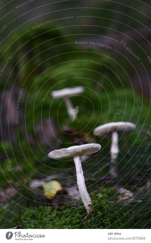 3 Pilz Umwelt Natur Pflanze Klima Moos Wald Waldboden grün weiß herbstlich Laubmoos Farbfoto Außenaufnahme Menschenleer Textfreiraum links Textfreiraum oben