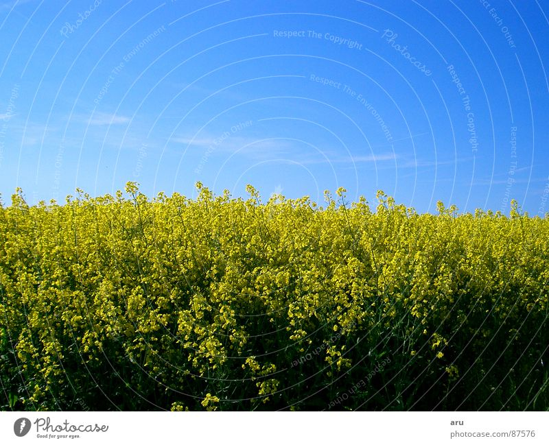 Rapsfeld Natur Himmel Blume Sommer gelb Wiese Feld Raps Rapsfeld