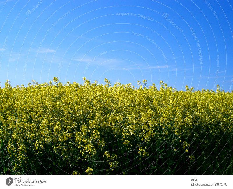 Rapsfeld Natur Himmel Blume Sommer gelb Wiese Feld