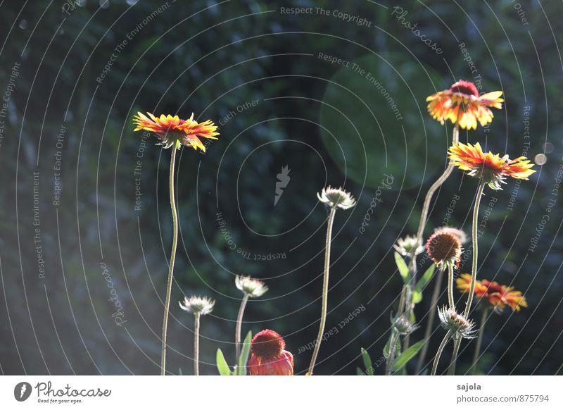 letzter hauch von sommer Garten Umwelt Natur Pflanze Sommer Blume Blüte Blühend stehen gelb orange rot verblüht Blendenfleck Farbfoto Außenaufnahme Menschenleer