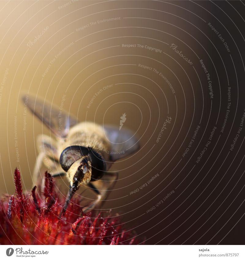 fliege im abendlicht Natur Pflanze Tier Umwelt Blüte Wildtier Fliege Insekt Tiergesicht Fressen saugen Facettenauge