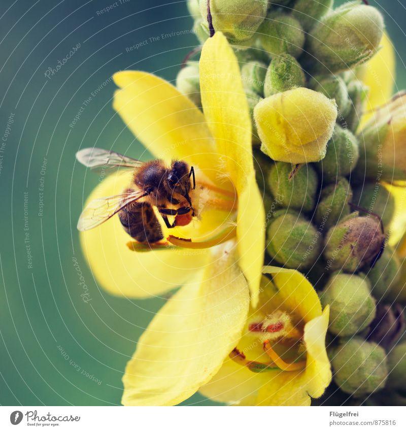 Fleißige Biene 1 Tier fliegen Sammlung Honig Nutztier Blütenknospen Sommer Tragfläche Nektar fleißig Pollen Natur Garten trinken Farbfoto Außenaufnahme