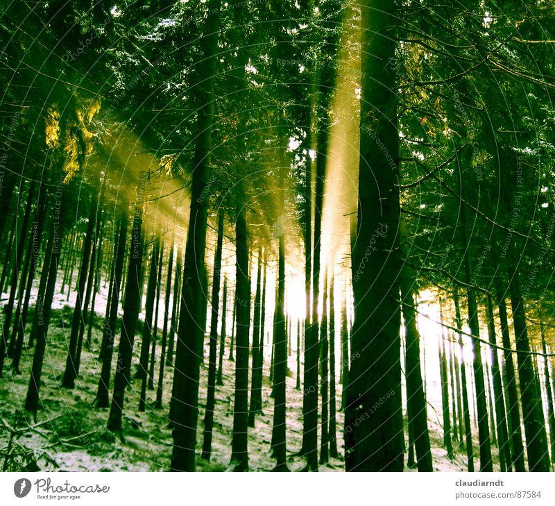 Grünes Licht grün Wald Erkenntnis Hoffnung Erwartung Wunder Frühling mystisch Nadelwald Lichteinfall Naturphänomene Streulicht Gebündeltes Licht Umwelt