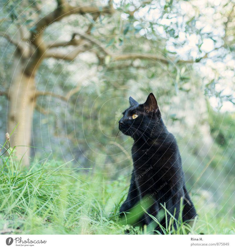 black panther II Katze Sommer Baum Tier Gras sitzen beobachten