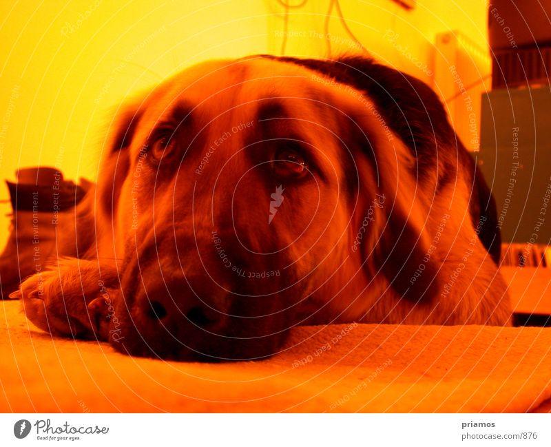 hundstage Tier Hund Traurigkeit Trauer Haustier Schnauze Fototechnik