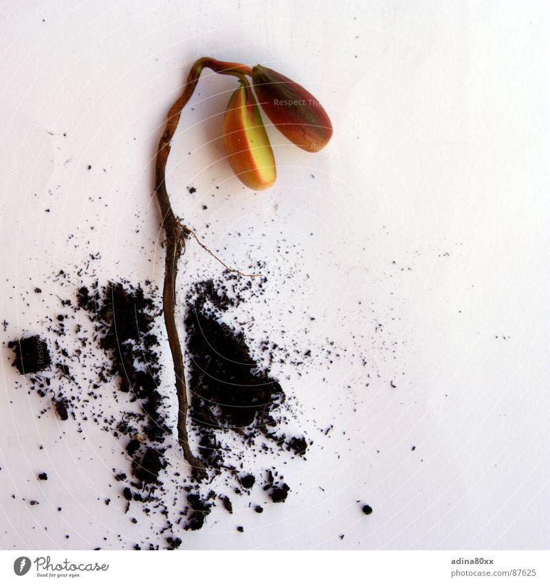 Neues Leben grün Tod klein Erfolg Frucht Erde neu Wachstum Boden Lebensfreude Idee Samen Geburt Zärtlichkeiten Aussaat