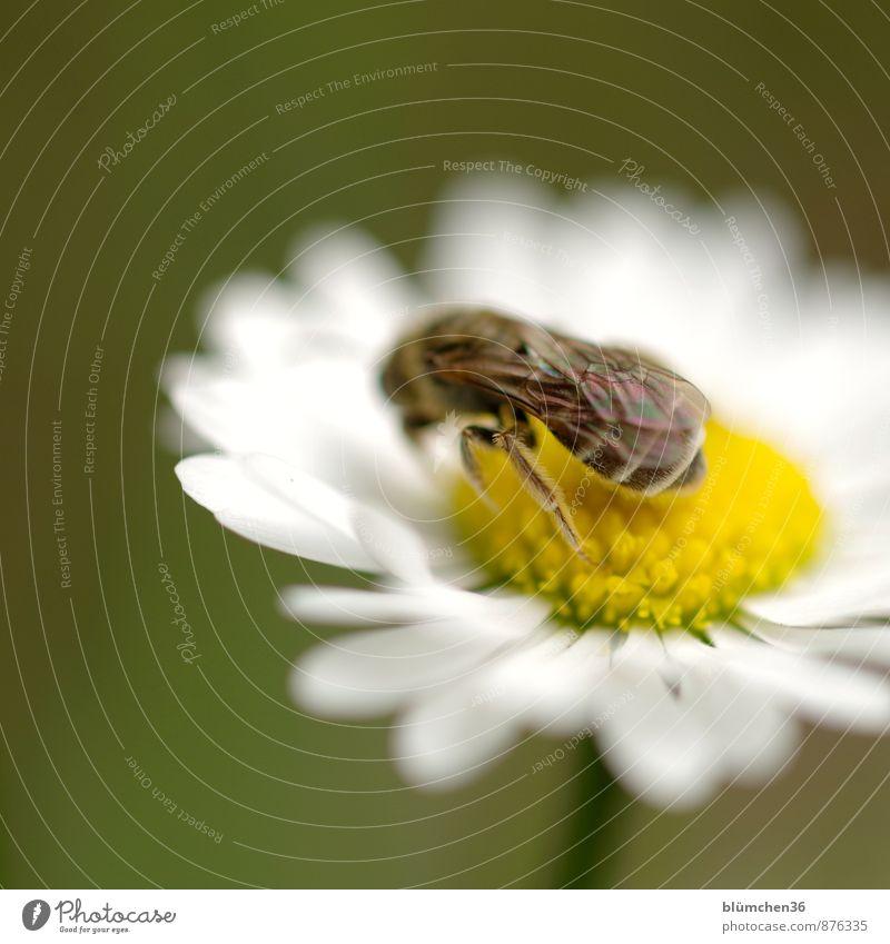 Wildbiene Natur Pflanze Blume Blüte Gänseblümchen Korbblütengewächs Tier Wildtier Biene Flügel Furchenbiene Insekt Beine Fell Blühend Duft Fressen hocken schön