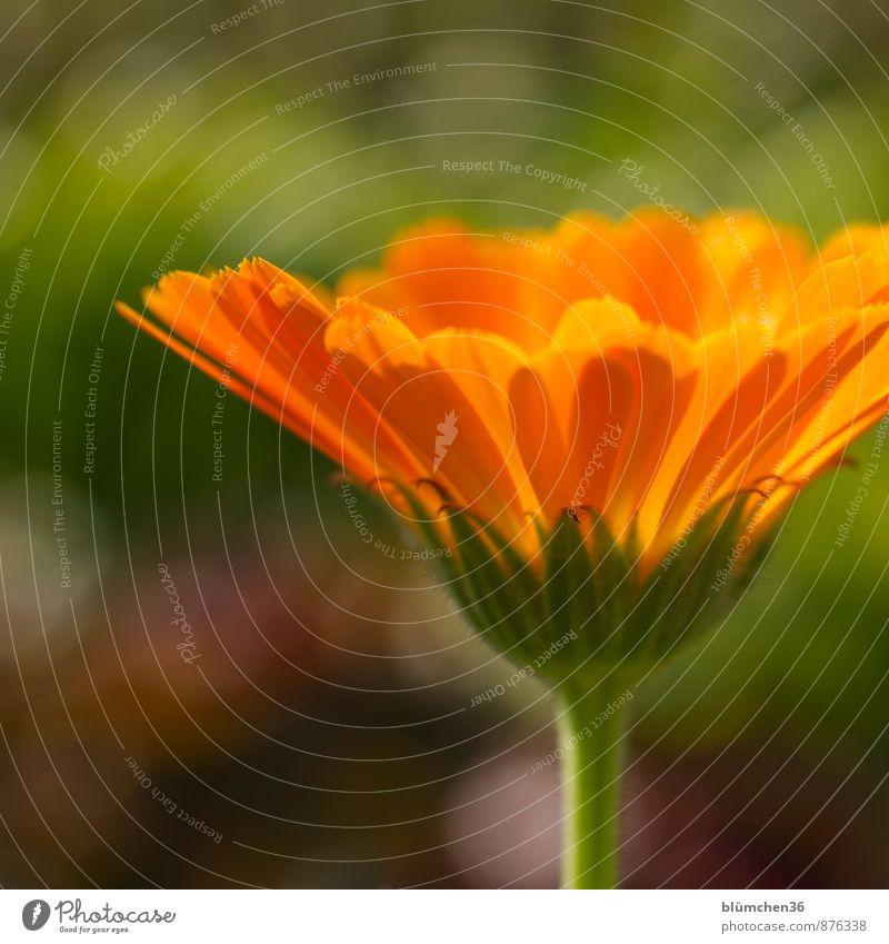 Sie heilt die kleinen Wunden Natur Pflanze schön grün Sommer Blume Blüte natürlich Gesundheit Garten Gesundheitswesen orange Wachstum leuchten ästhetisch