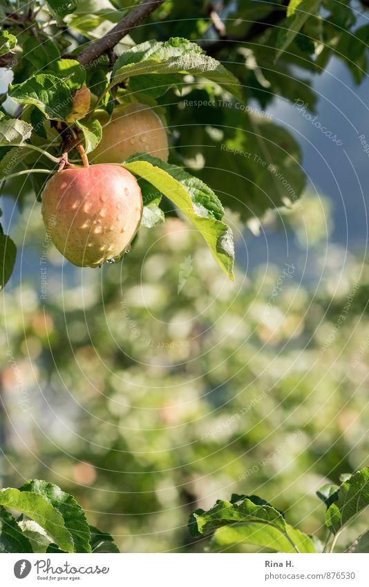 bedröppelt Landwirtschaft Forstwirtschaft Sommer Schönes Wetter Regen Garten nass Apfelbaum Wassertropfen reif Unschärfe Farbfoto Detailaufnahme Menschenleer