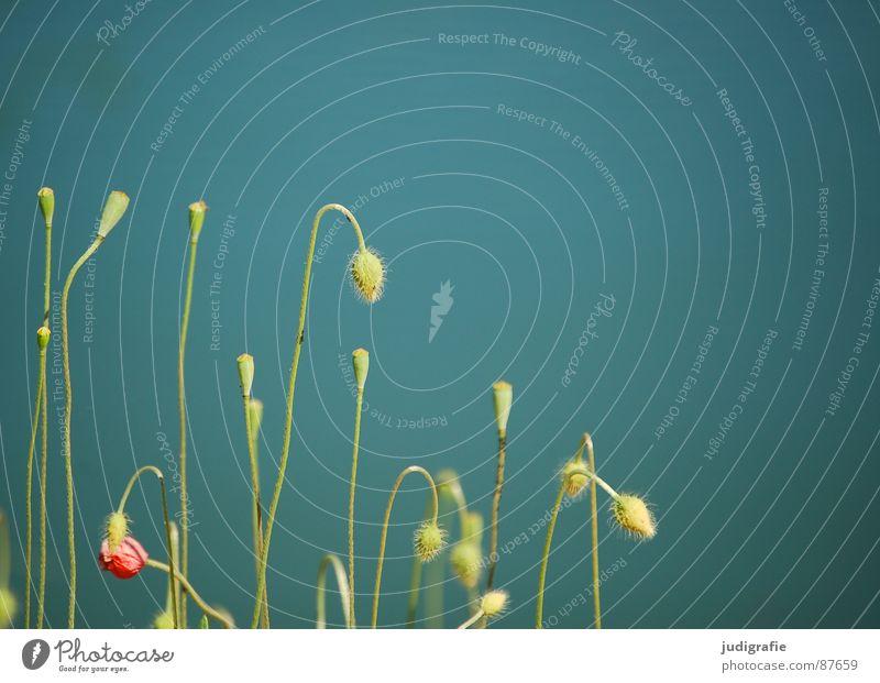 Mohn Natur Pflanze grün Sommer Erholung ruhig Umwelt Wiese See Zufriedenheit Wachstum mehrere Stengel harmonisch Samen Blütenknospen