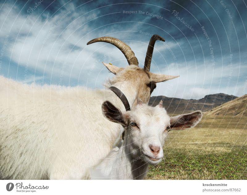 bei Muttern Alp Flix Ziegen Tier Wiese behüten Schutz bewachen Schweiz Zusammensein Verbundenheit Ziegenfell eng Zicklein Gras Alm vertraut grün Bergwiese