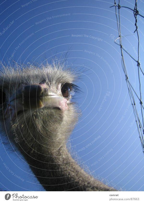 Freiheit Vogel Bauernhof Neugier entdecken Zaun Tier Strauß