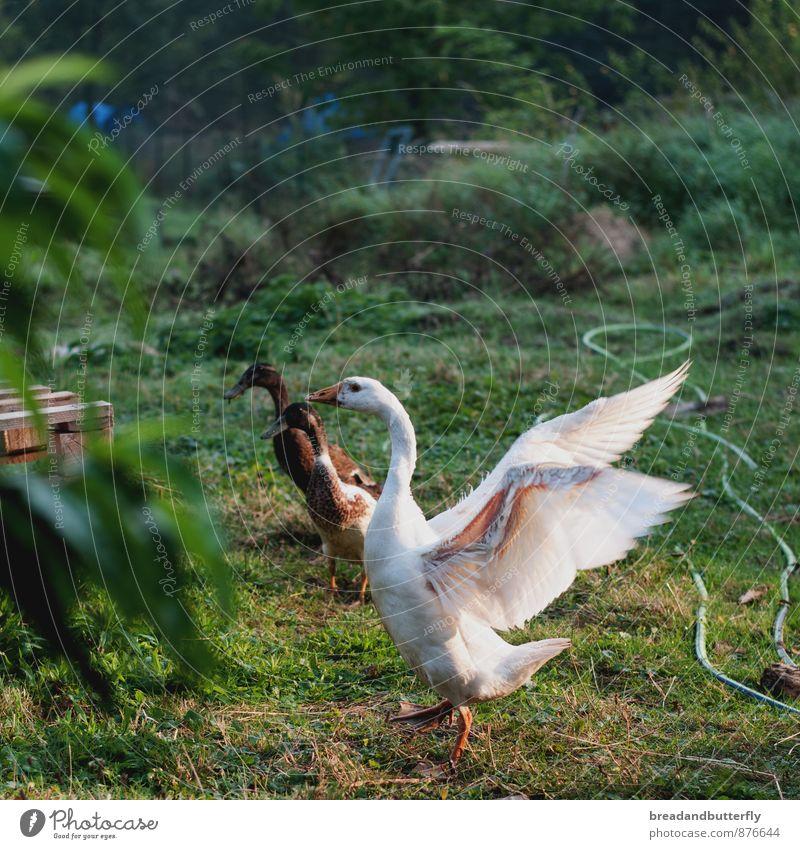 Gans schön aufgeregt Gras Garten Bauernhof Tier Nutztier Ente 3 Brunft Bewegung bedrohlich Idylle Natur Umweltschutz Anatomie Farbfoto Außenaufnahme